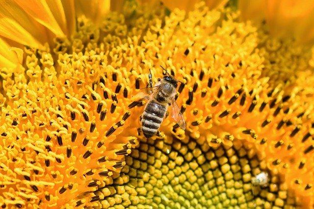 včela na slunečnici
