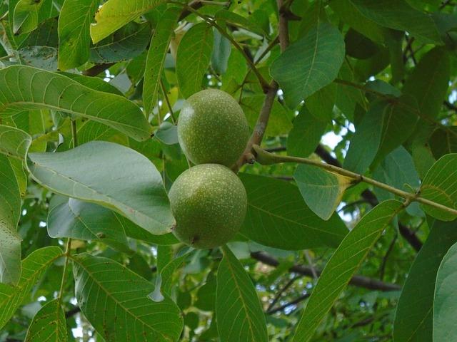vlašské ořechy na stromě